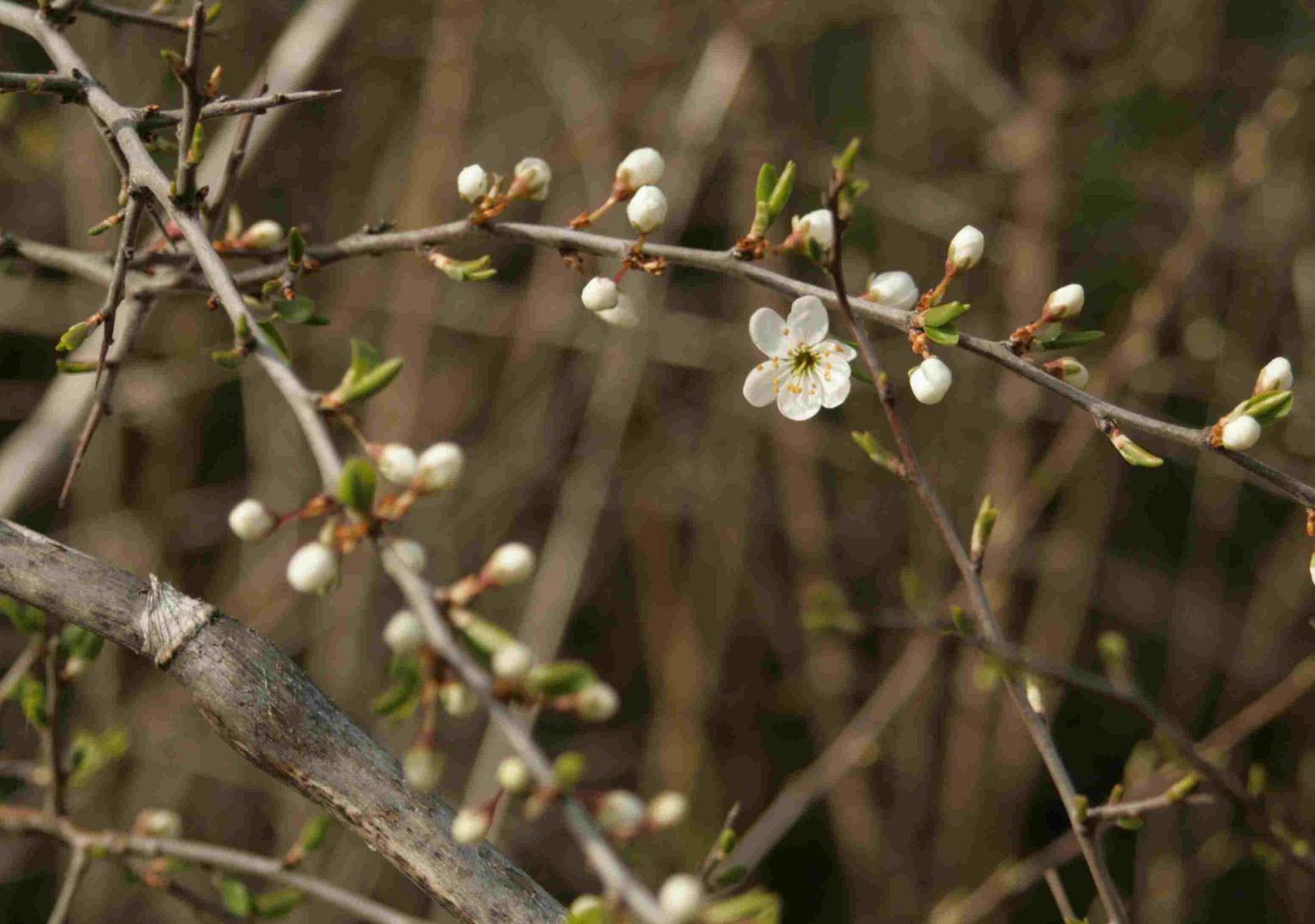 Erste Blüte im Frühjahr