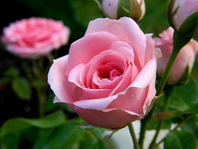 erste Blütenpracht der neuen Rose...
