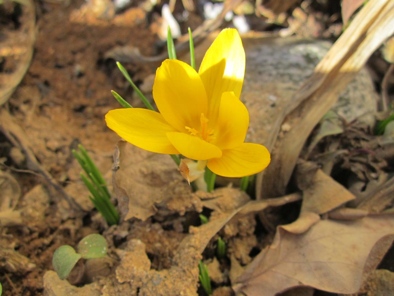 Erste Blume erblickt das Licht