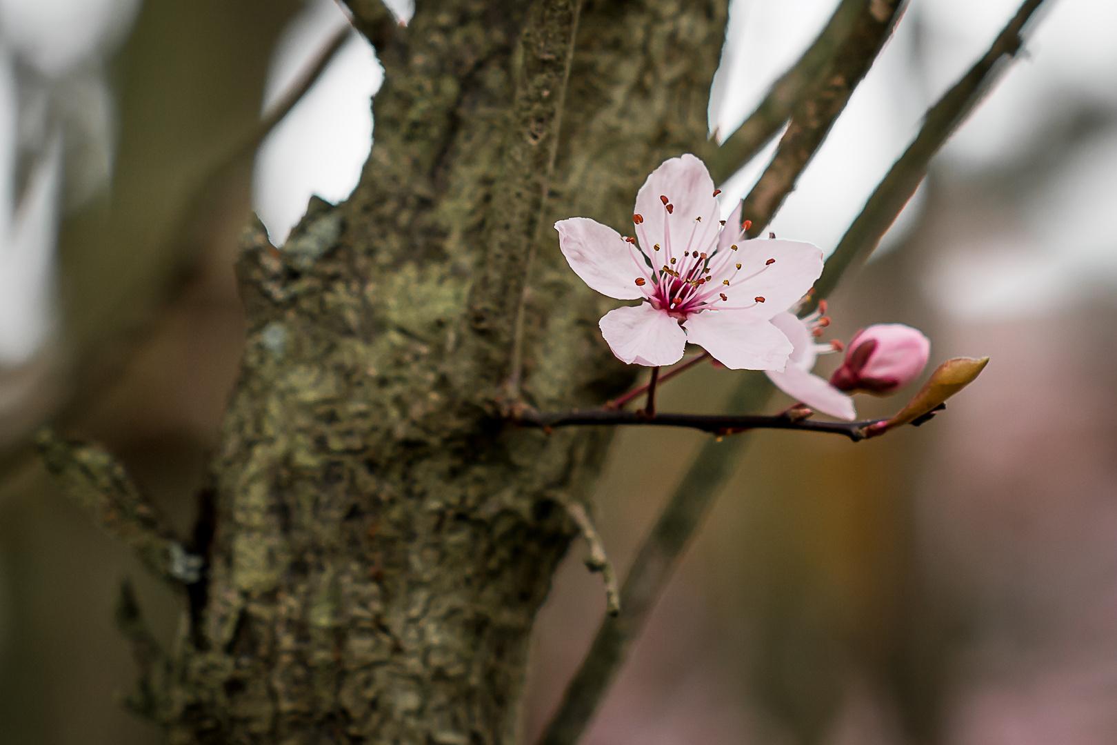 Erste Blutpflaumen-Blüte
