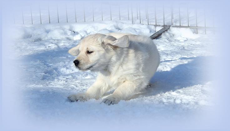 Erste Erfahrung mit Schnee. 8 Wochen alter Welpe aus dem Hause Solar Fire
