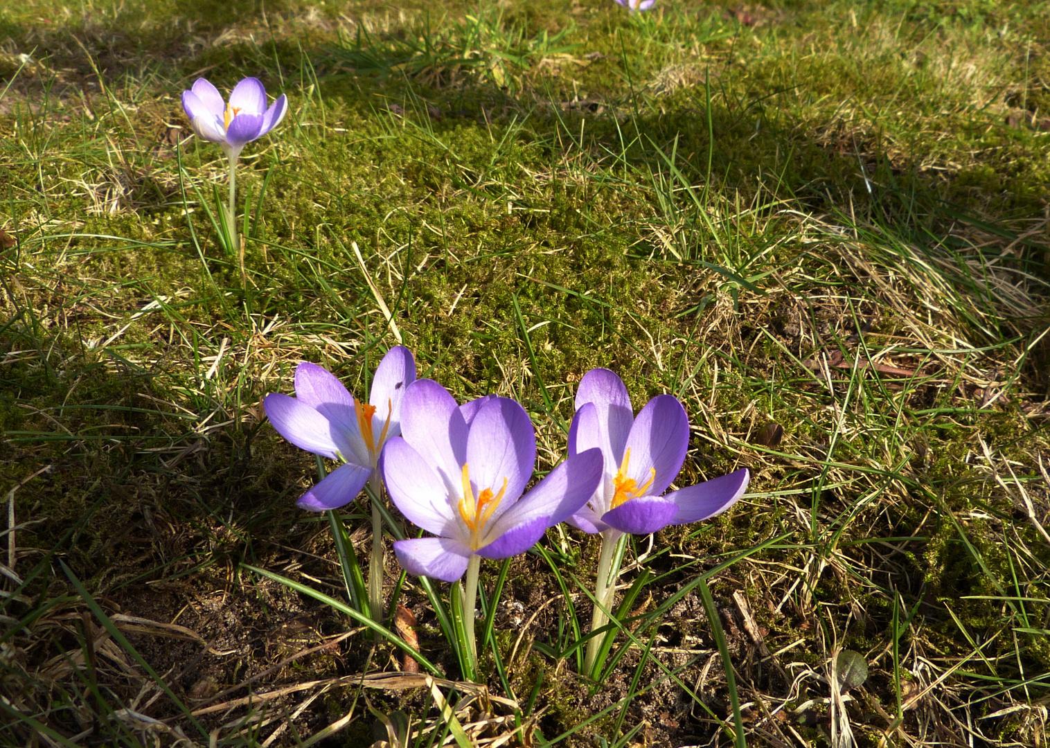 erste Frühlingsboten 2013