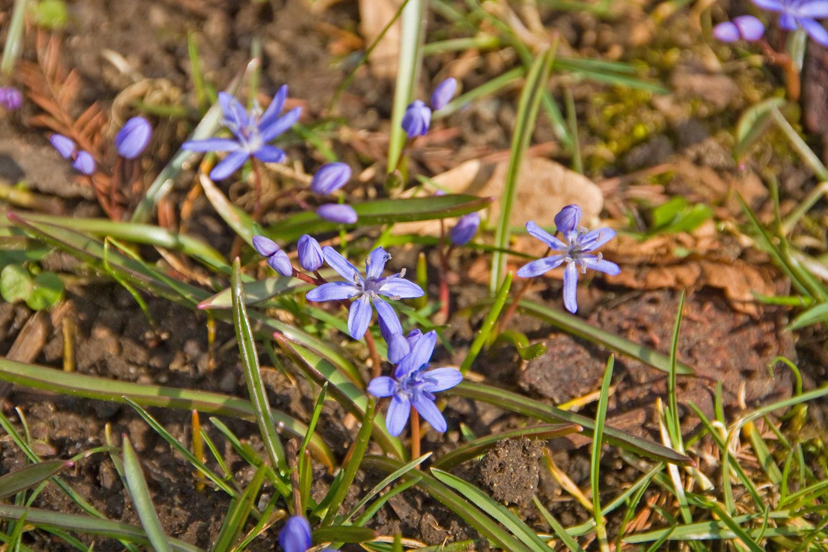 Erste Frühlingsboten trotzen der eisigen Kälte - Scillablüten