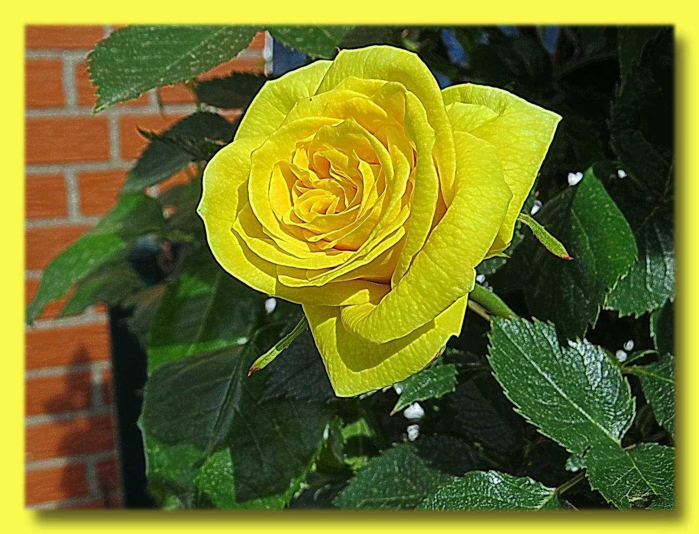 erste Gelbe an meinem Rosenstrauch i. d. Igelecke,