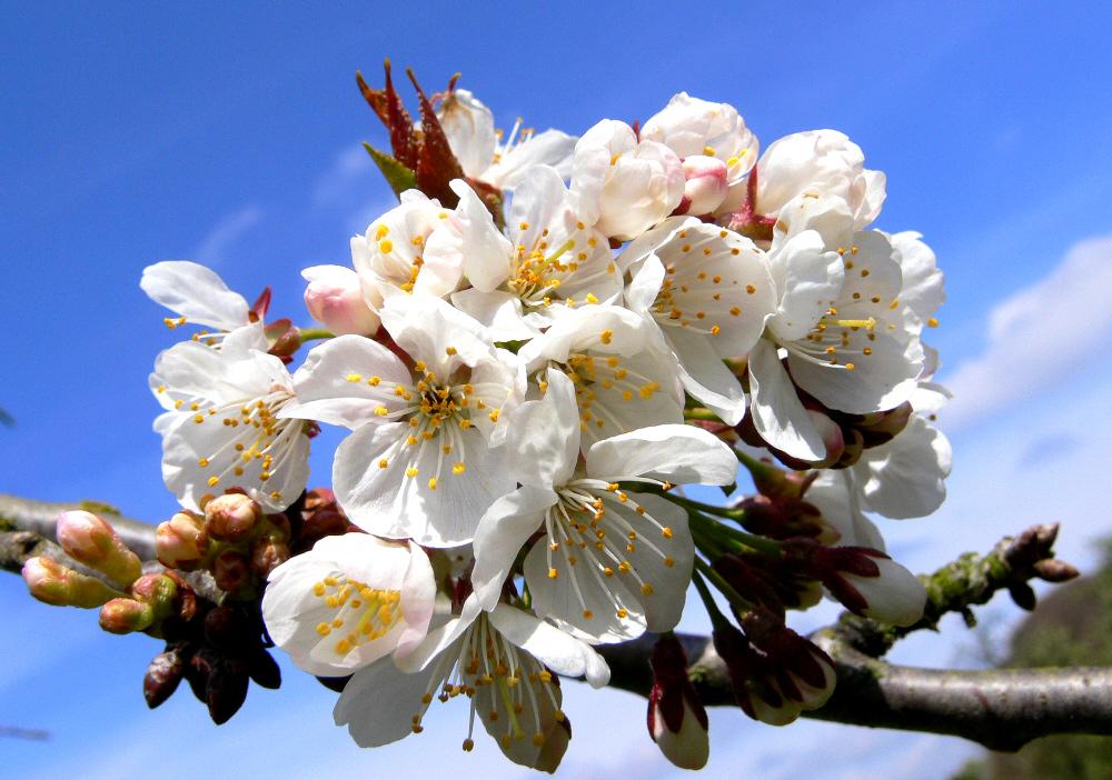 Erste Kirschblüten