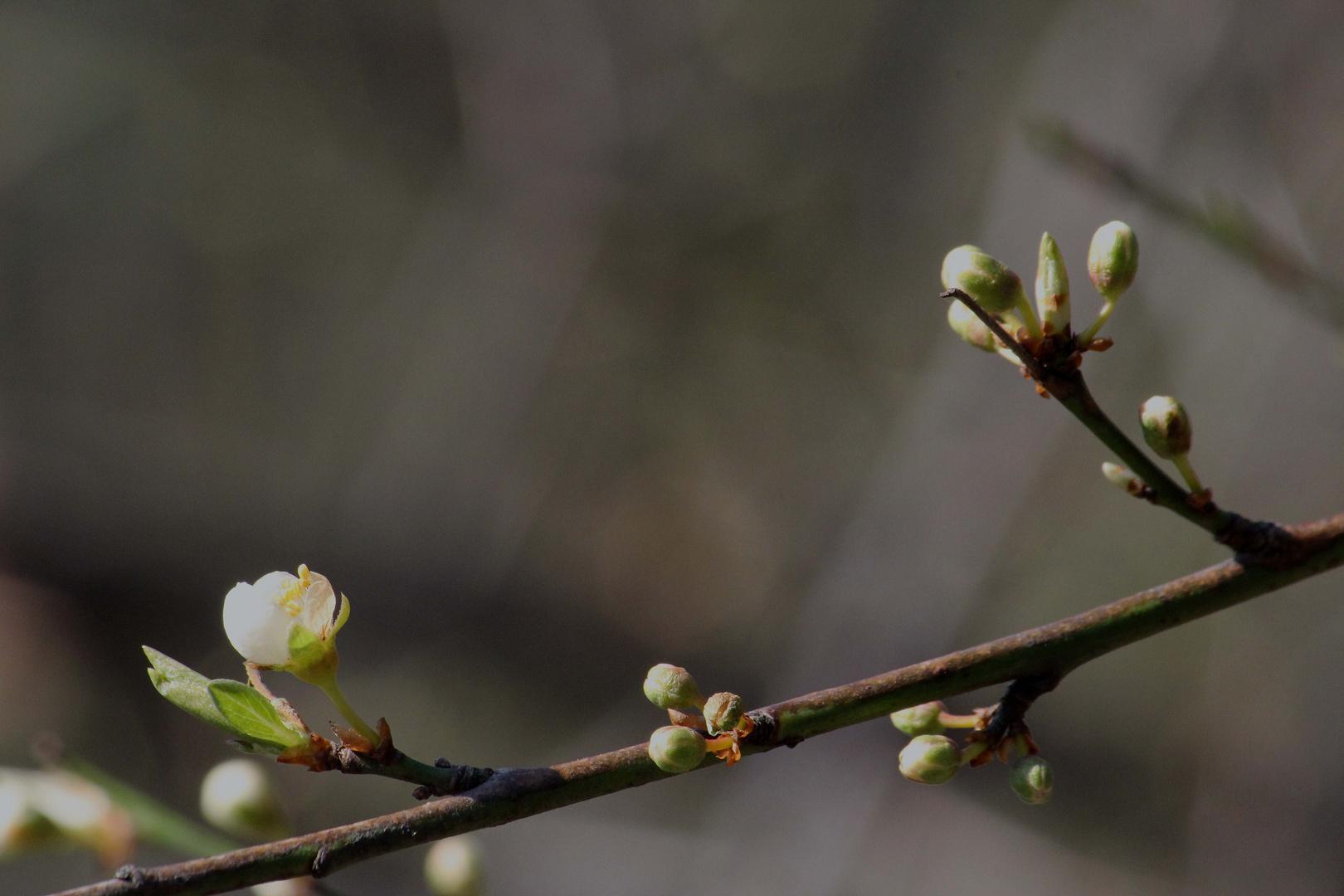 erste Miniblüte