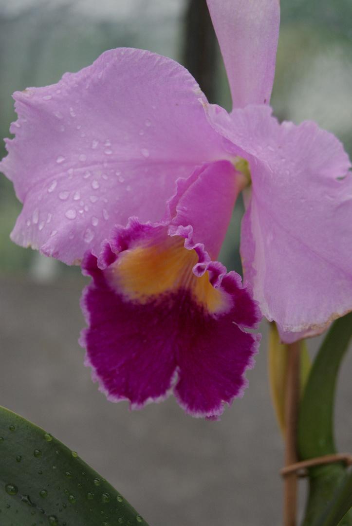 Erste Orchidee