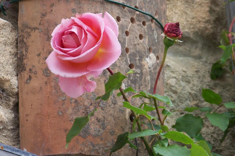 Erste Rose in Lacoste