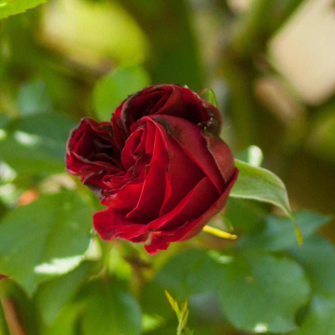 Erste Rosen 2