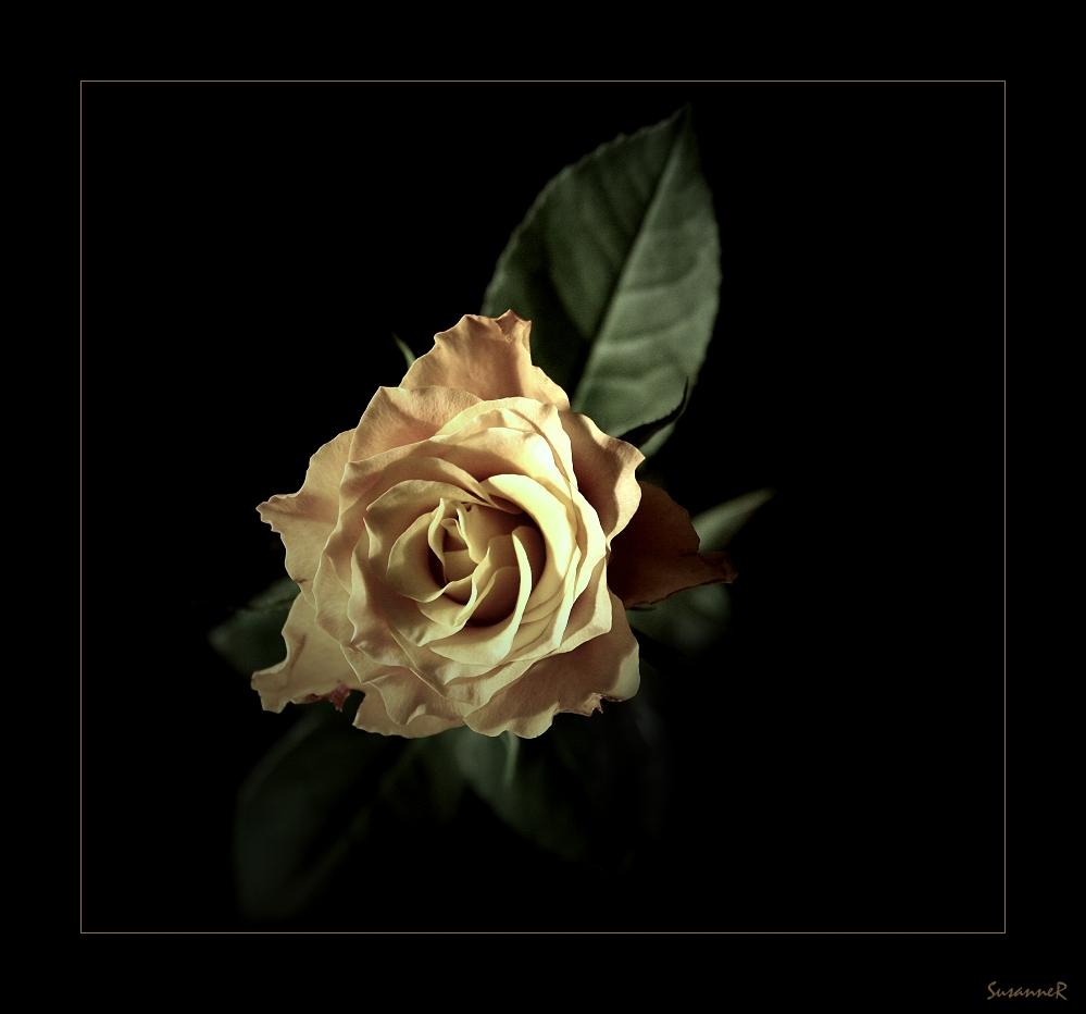 Erste Rosen erwachen...