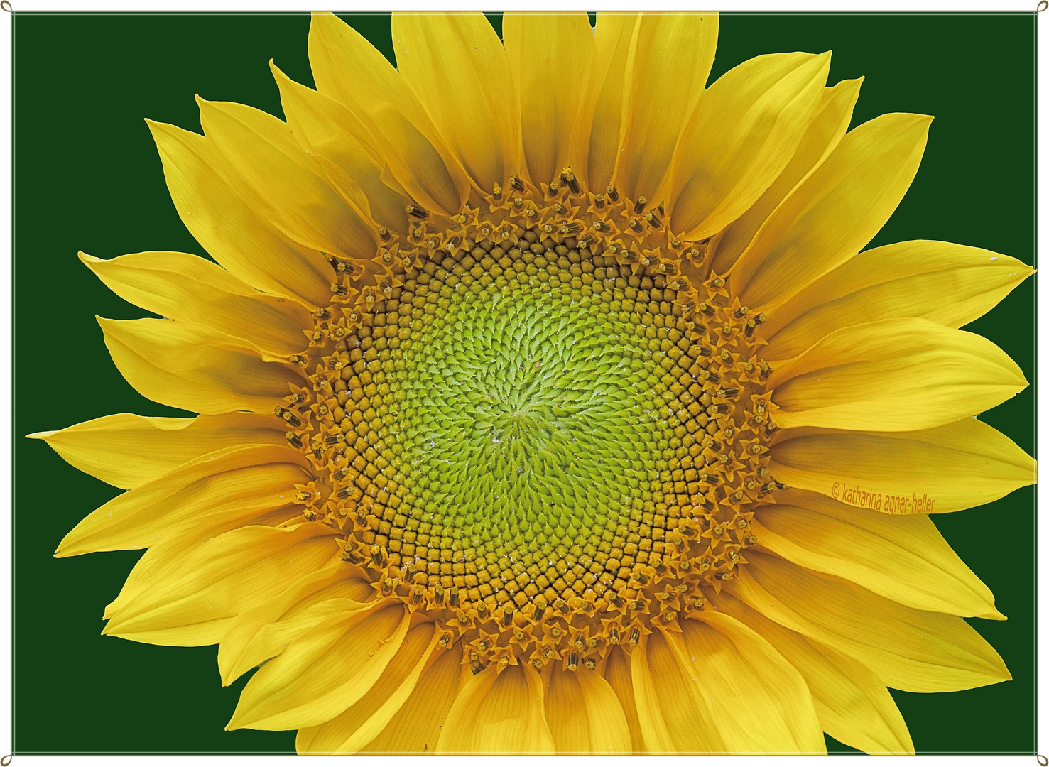 Erste Sonnenblume im Garten