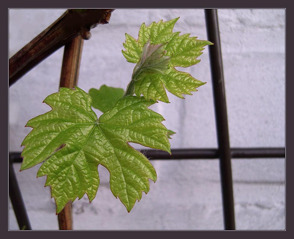 Erste Weinblätter