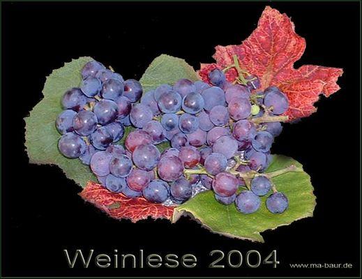 Erste Weinlese im eigenen Garten (Pergula)