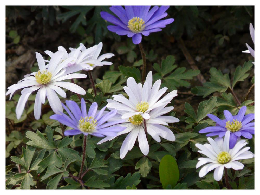 erster Blumengruß des Frühlings