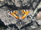 Erster Schmetterling am an Anfangs März 2012