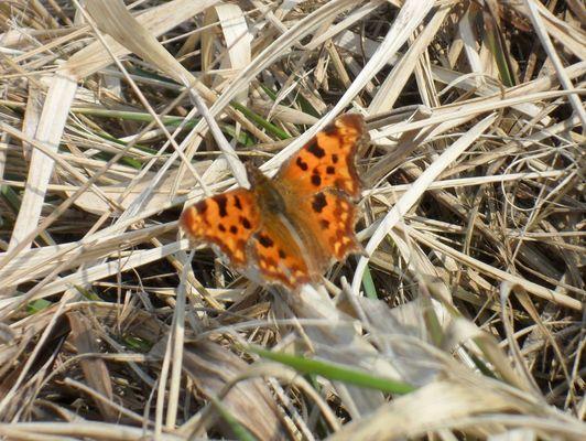 erster Schmetterling/ C-Falter
