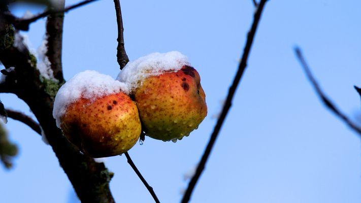 Erster Schnee auf späten Äpfeln