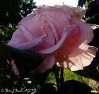 Erstes Morgenllicht streift Rose