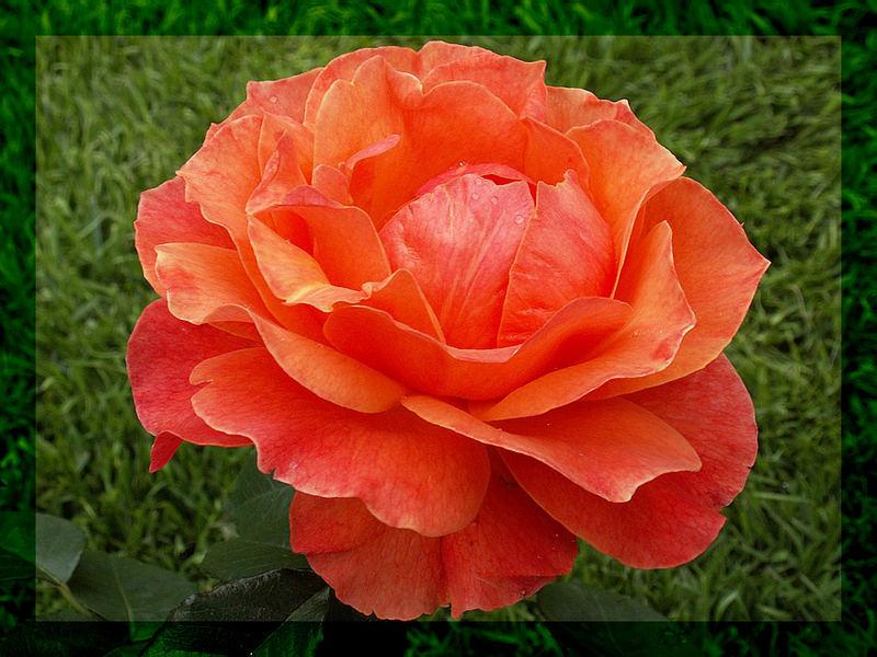 erstes Rosenbild aus meinem kleinen Vorgarten