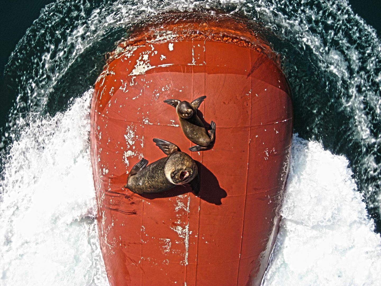 erstmal chillen... Seelöwen vor Valparaiso