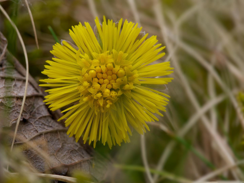 Erwachendes Leben - zwischen dürrem Laubblatt und Gras schiebt sich eine Huflattichblüle ans Licht