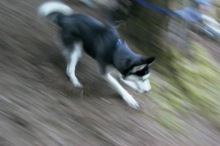 Erwisch du mal einen Husky beim Laufen ...