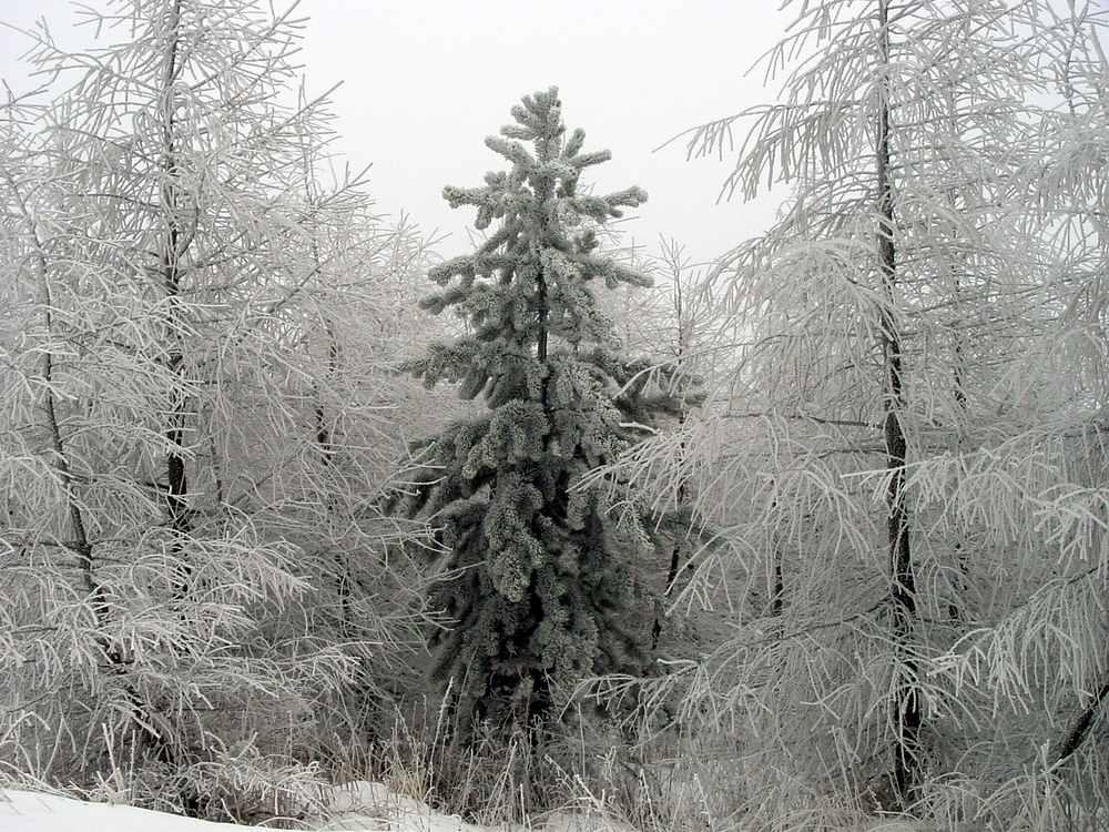 Erzgebirge_Winterwald bei Altenberg (Kammstraße)