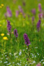 Erzgebirgs- Orchideenteppich