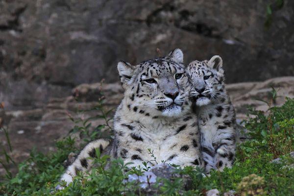 ... es gibt nicht nur Schmuse-Tiger ....