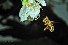 """es gibt noch """"fleißige Bienen"""""""