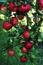 Es gibt noch reichlich Galaäpfel