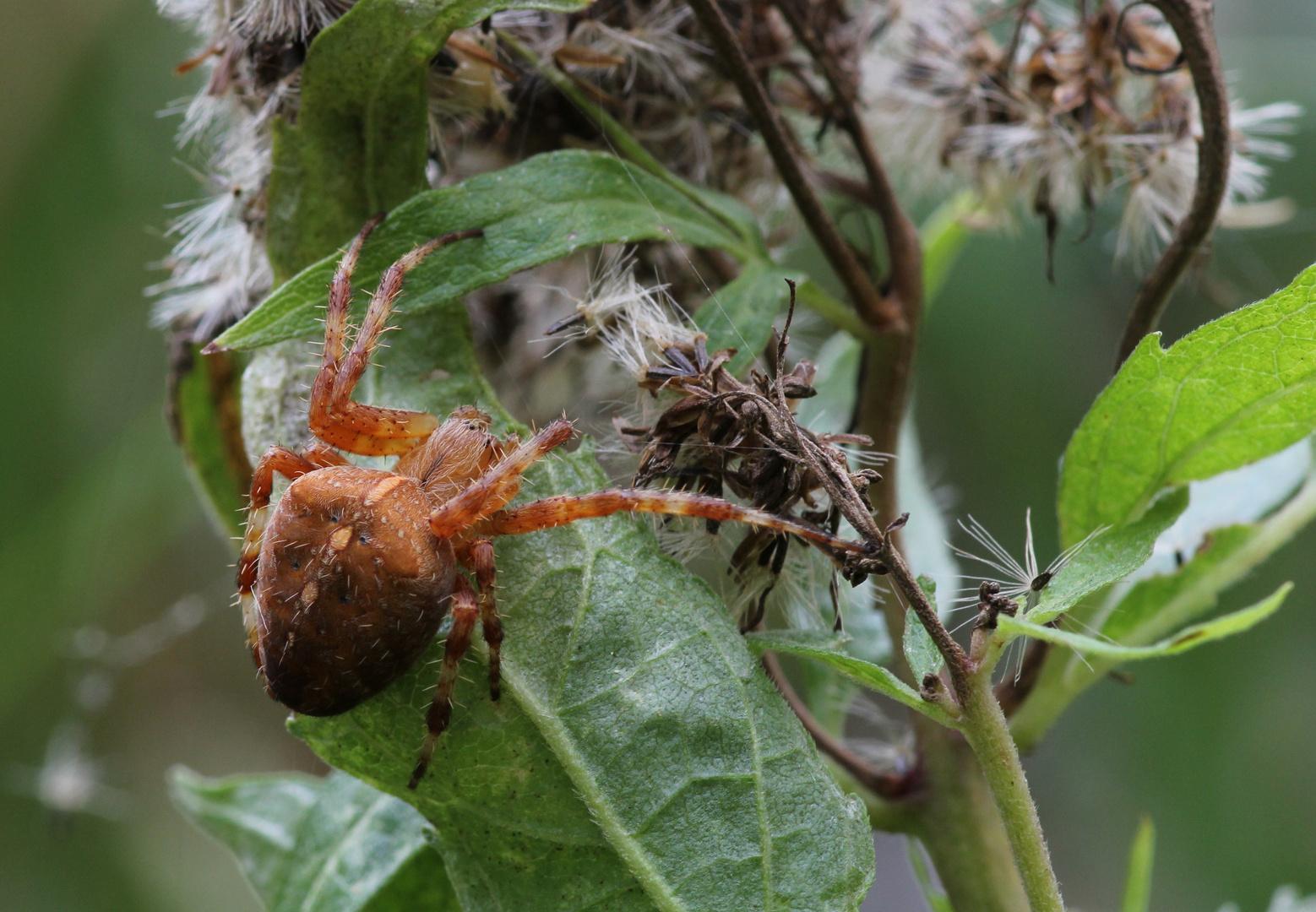 Es gibt viele Kreuzspinnen Arten