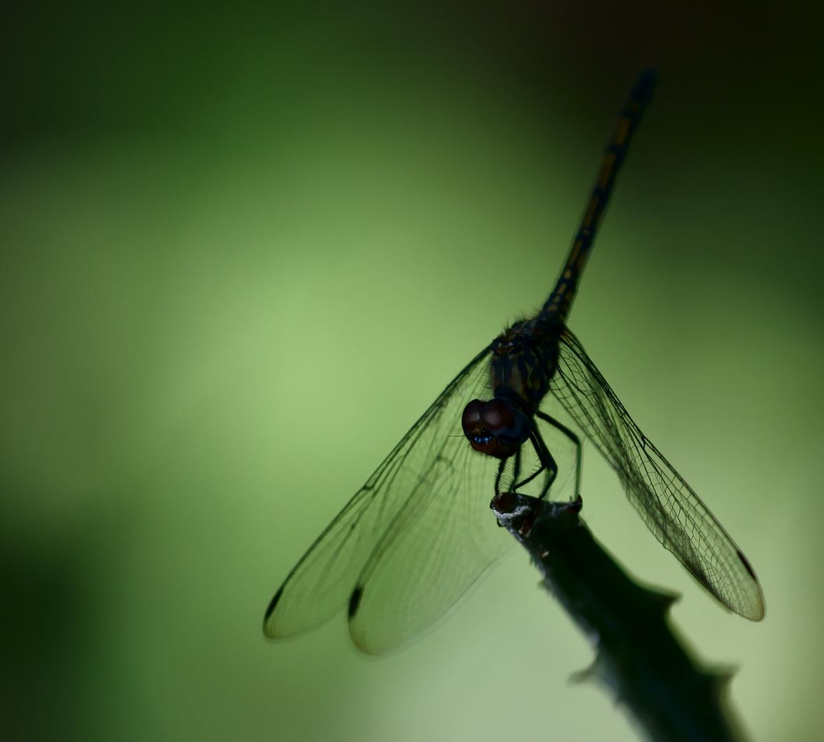 Es gibt viele Libellenfotos...