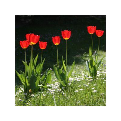 Es glüht so schön wenn Frühlingsblumen blühn