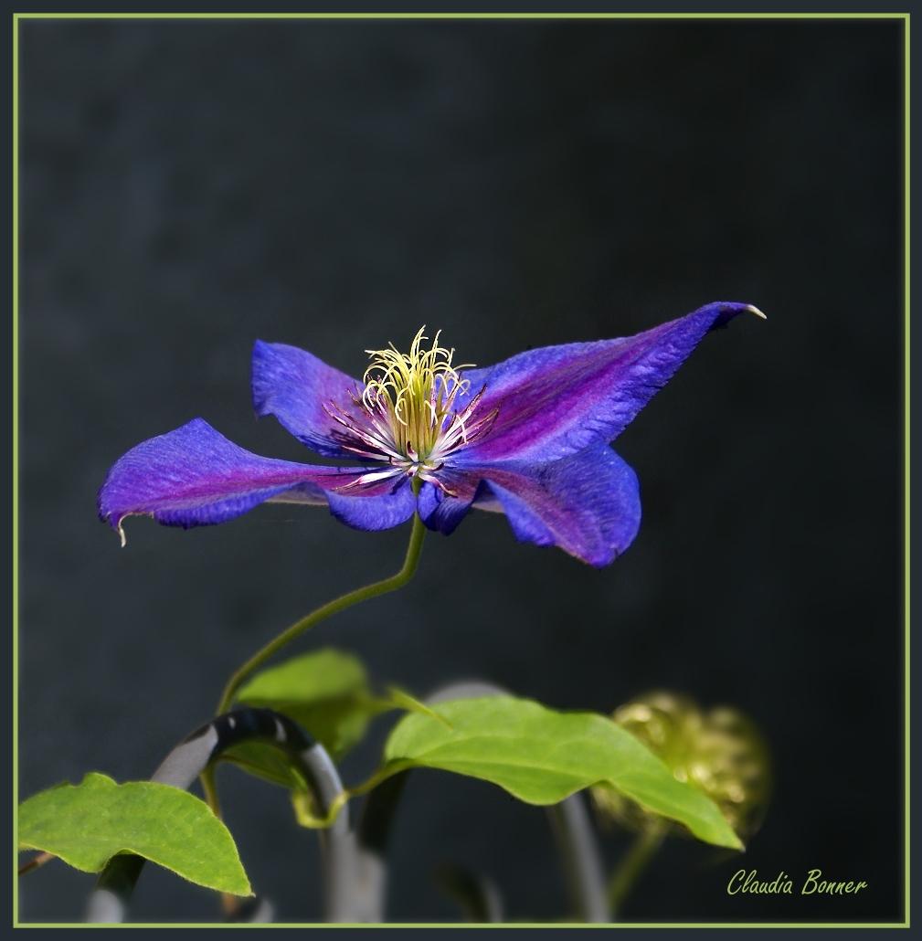 Es rankt sich in wunderbarem Blau in unserem Garten empor