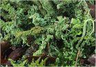 Es rauscht im Flechtenwald