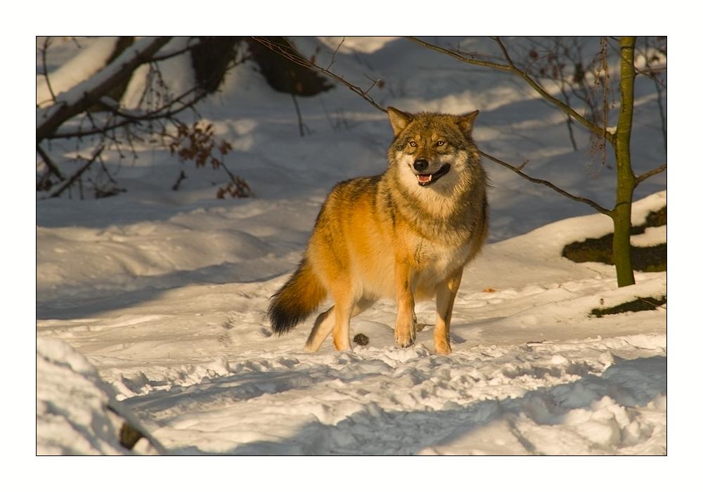 es steht ein Wolf im Wald