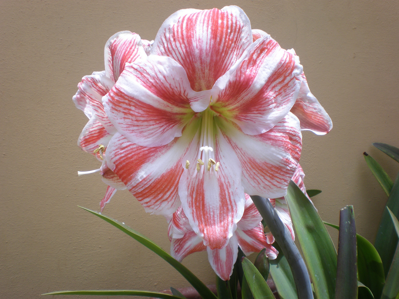 Es una flor de bulbo