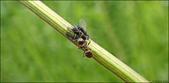 Es war ende Mai als ich die Ameise bei der Melkarbeit entdeckte...