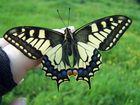 es war noch zu feucht und der Schmetterling konnte noch nicht fliegen