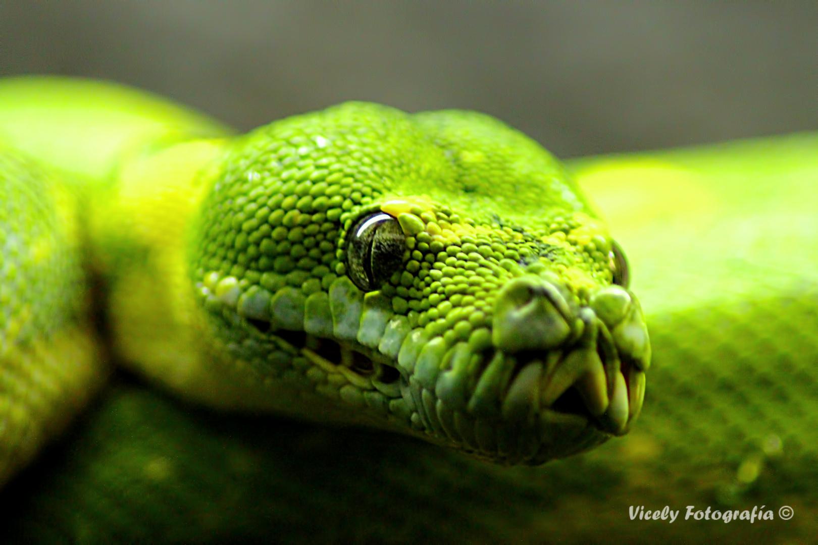 escamosa verde