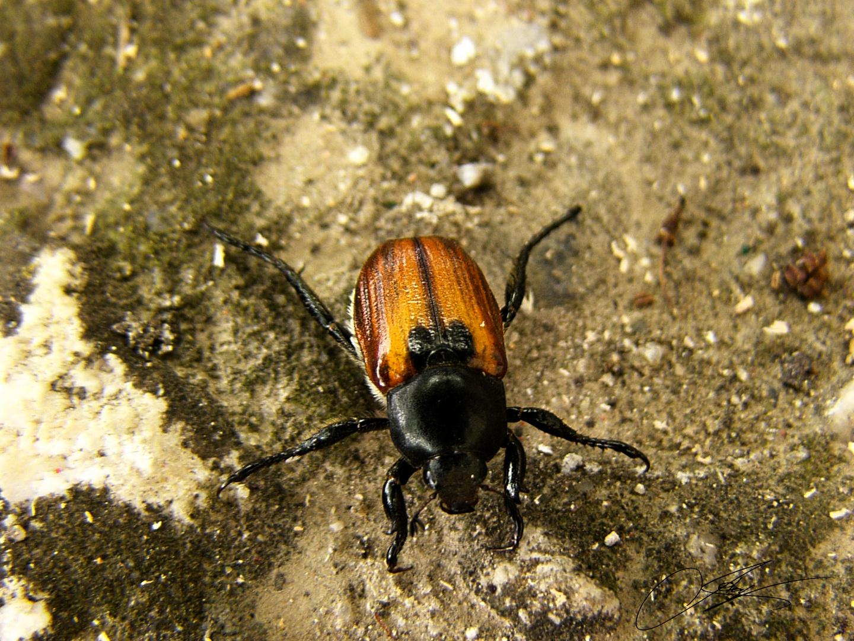 Escarabajo!