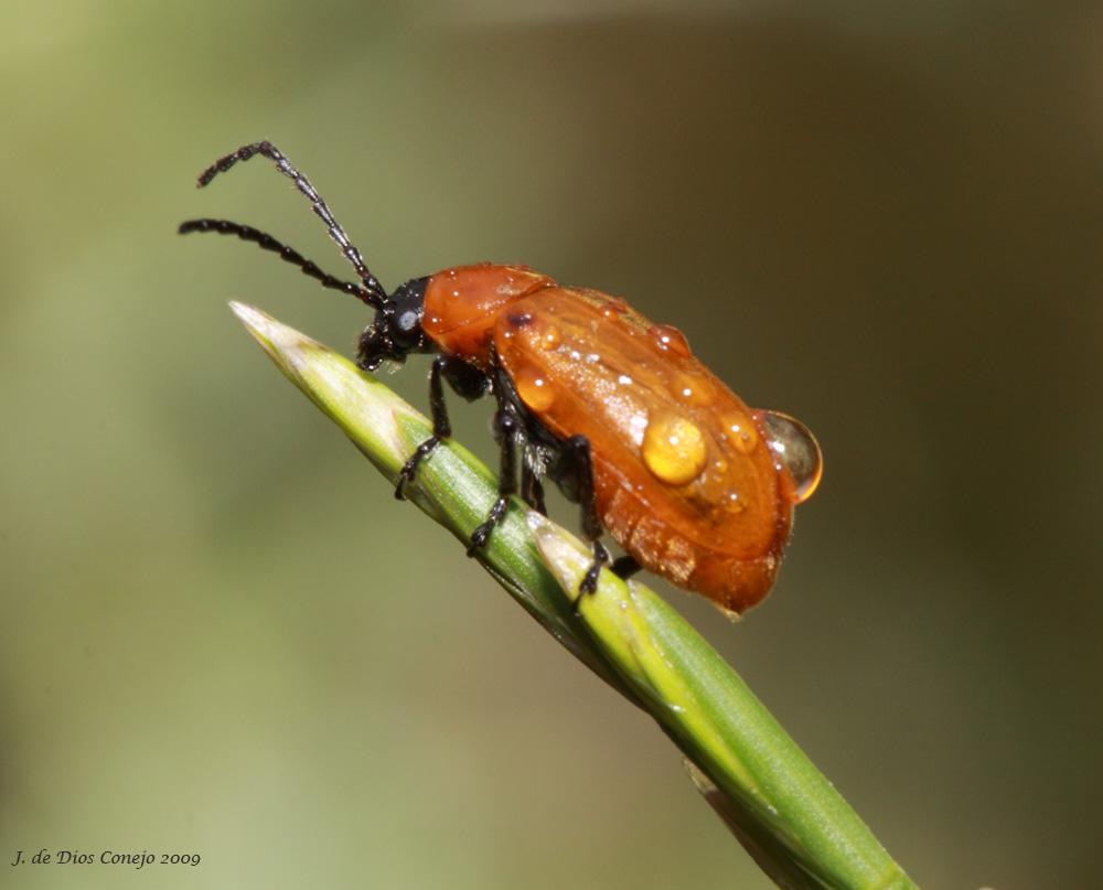 Escarabajo en gramínea
