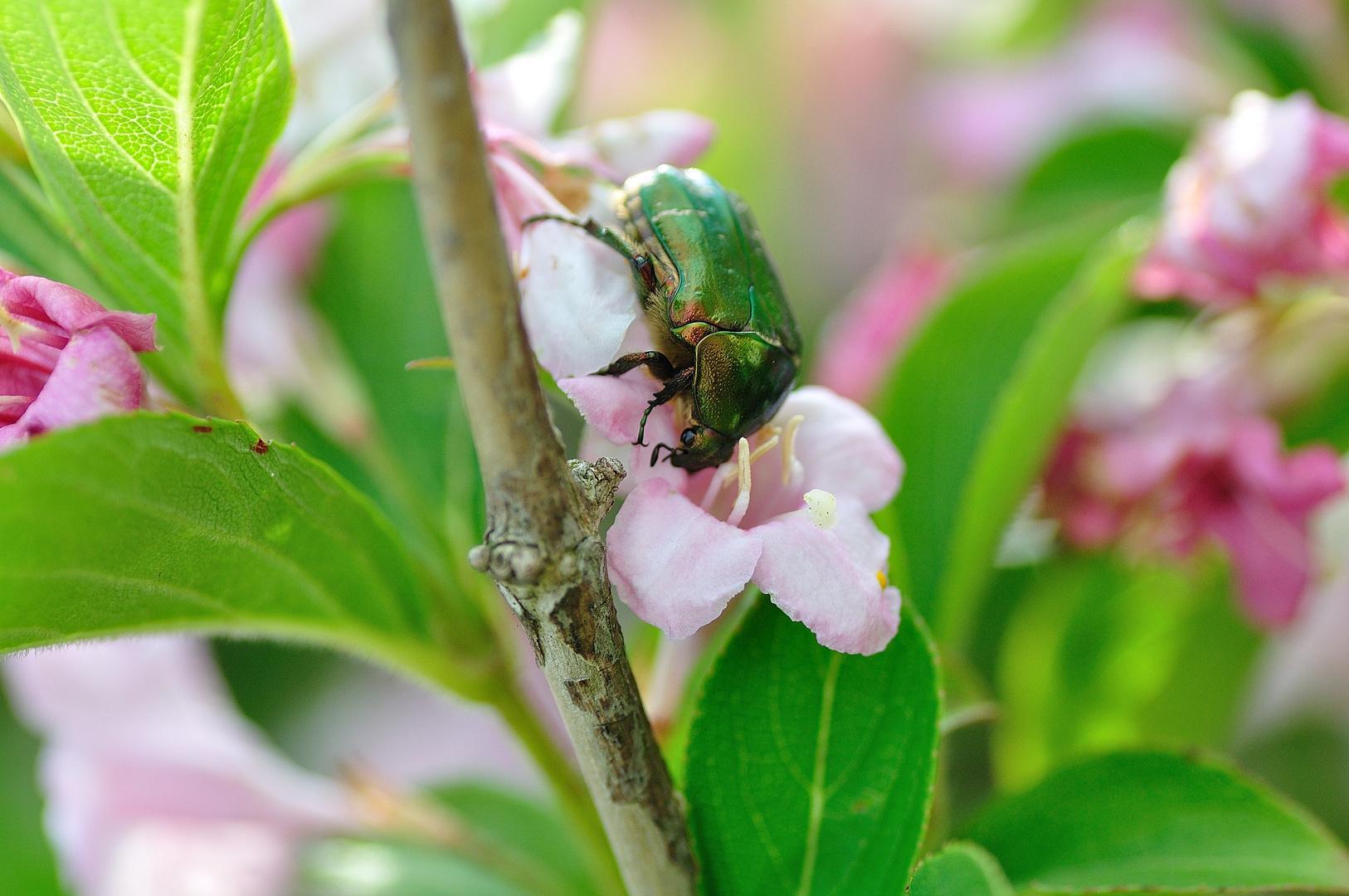 Escarabajo verde metalico