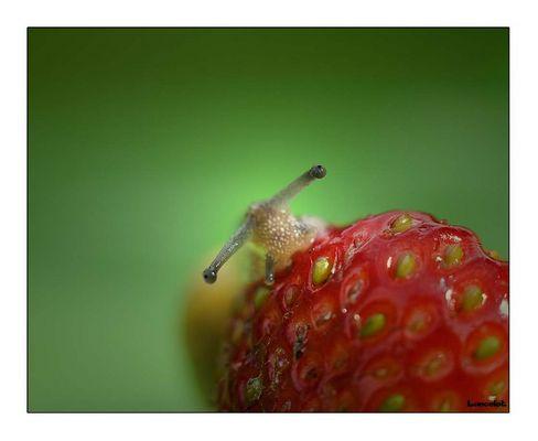 Escargot à la fraise