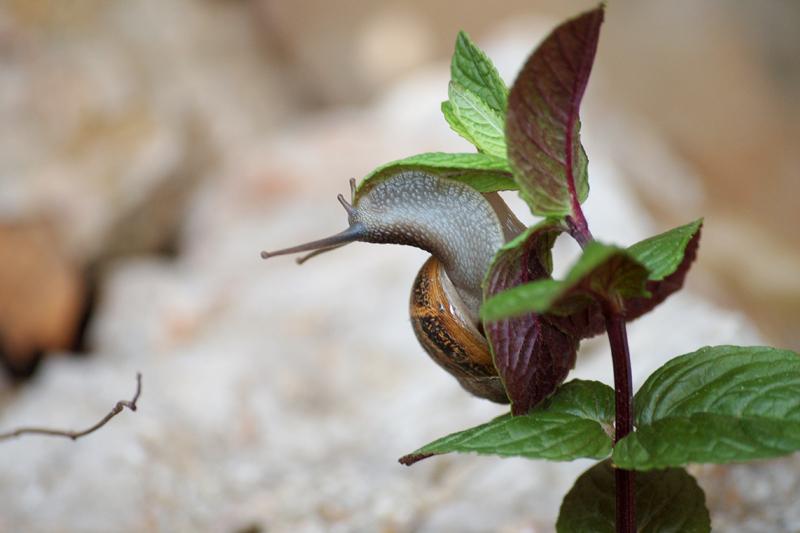 Escargot à la menthe