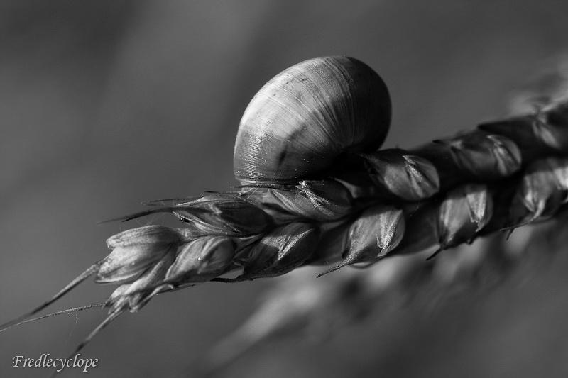 Escargot dans les blés