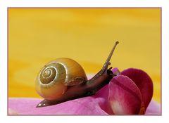 Escargot sur une fleur