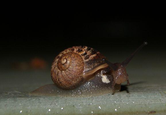Escargot visiteur