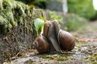 Escargots amoureux